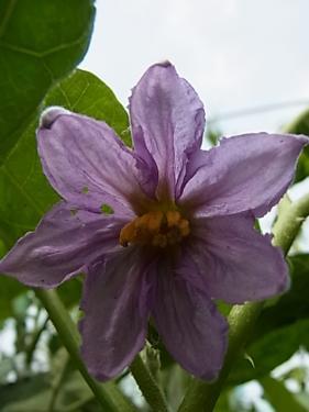 白茄子の花