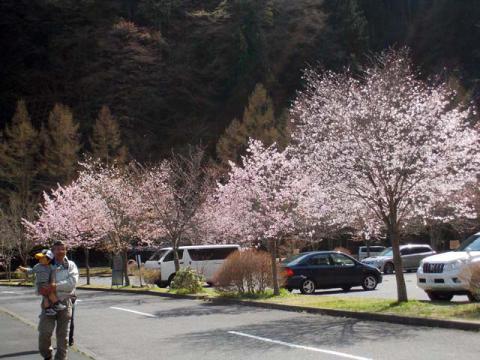 052奥多摩湖の桜2