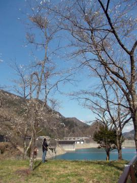050奥多摩湖の桜1