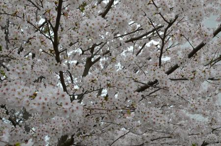 20130330佐倉城址公園03