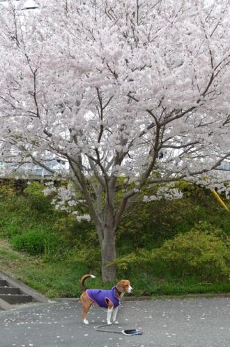 20130330佐倉城址公園01