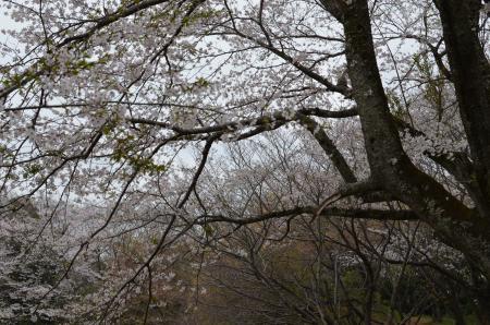 20130330佐倉城址公園12