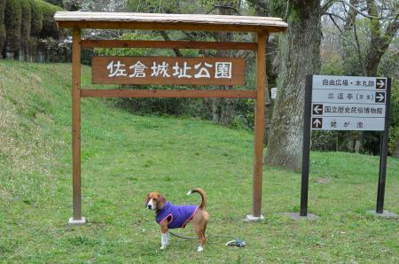 20130330佐倉城址公園18