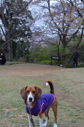 20130330佐倉城址公園15