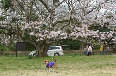 20130330佐倉城址公園24