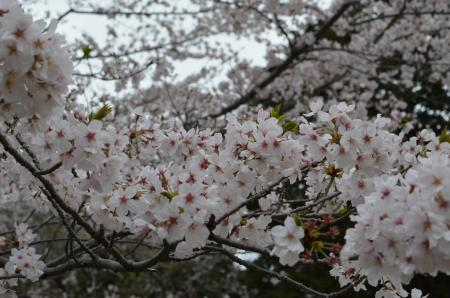 20130330佐倉城址公園19