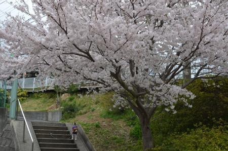 20130330佐倉城址公園30