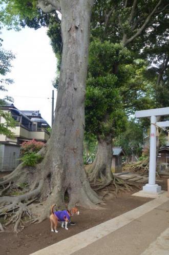 20130502神明大神社08