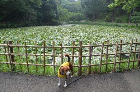 20130622菖蒲 佐倉城址公園03