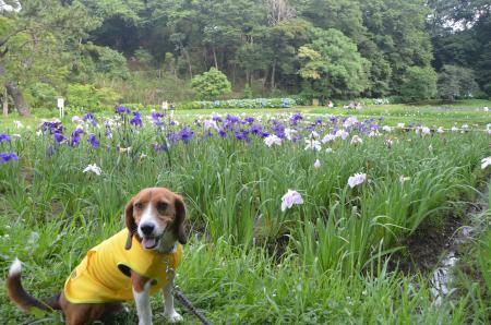 20130622菖蒲 佐倉城址公園11