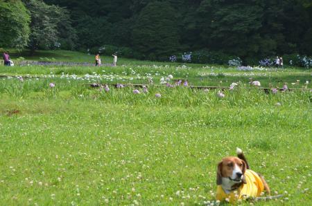 20130622菖蒲 佐倉城址公園13