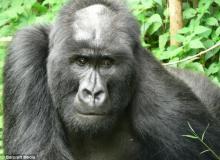 gorilla01_convert_20141124171128.jpg