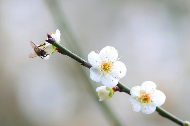 梅とショウビ(4)
