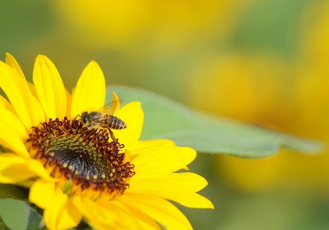 花と蜜蜂(1)