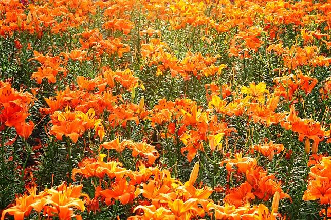 一面の花々(1)