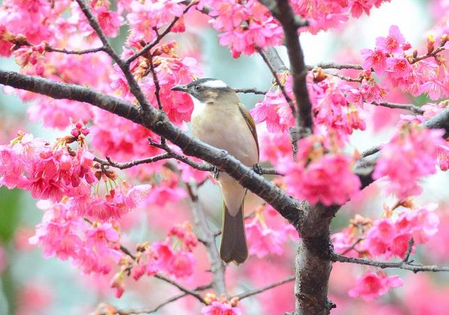 桜三昧(3)