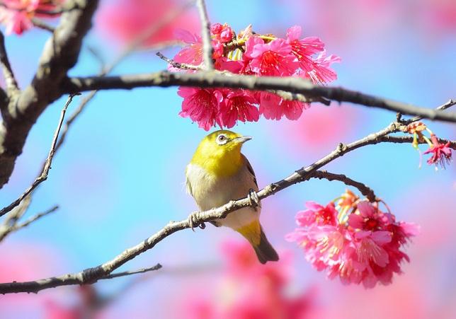 桜と鳥ーメジロ編(1)