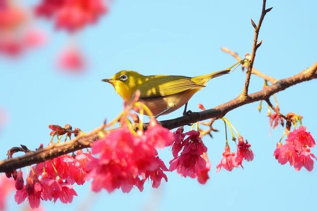 桜と鳥ーメジロ編(2)