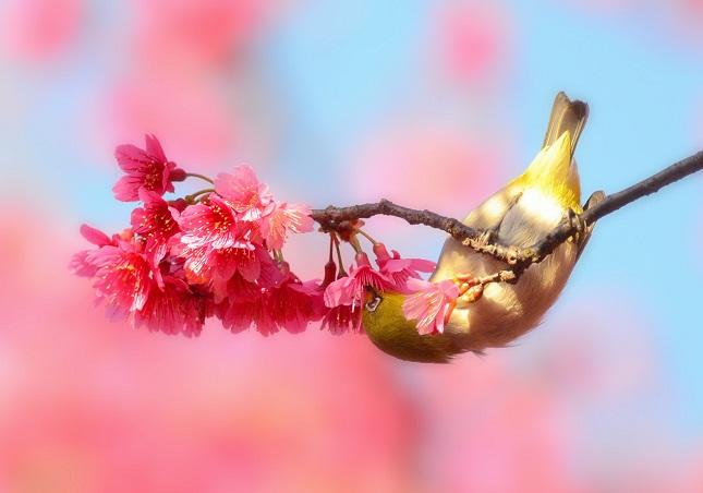 桜と鳥ーメジロ編