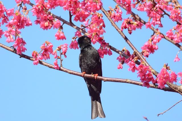 桜と鳥(3)
