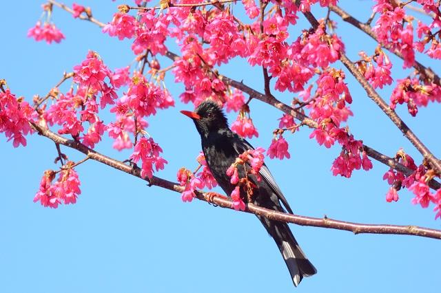 桜と鳥(2)
