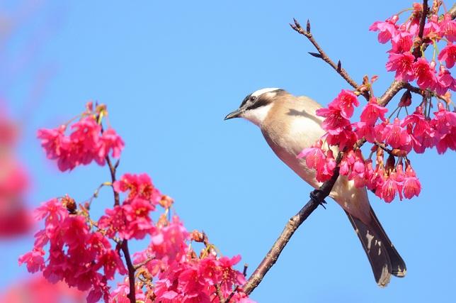 桜と鳥‐シロガシラ編(2)