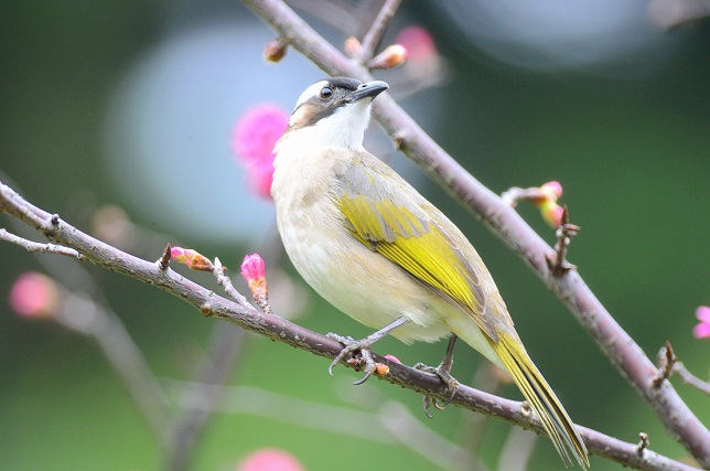 桜と鳥‐シロガシラ編(1)