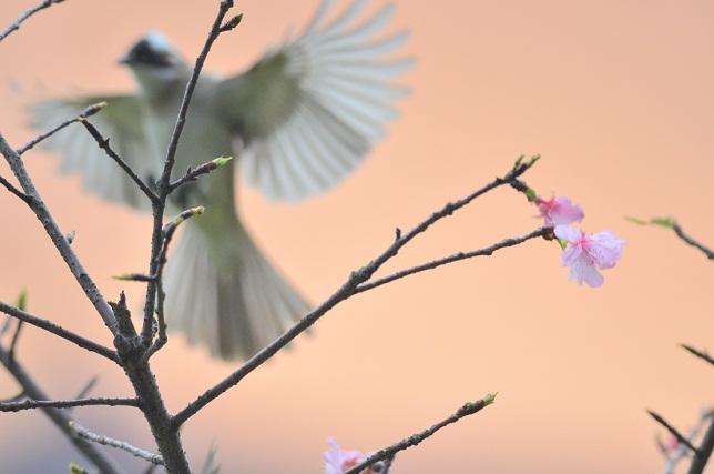 桜と野鳥(4)
