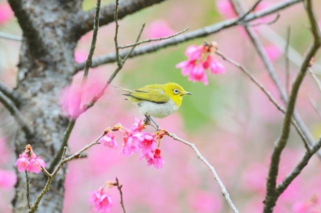桜とメジロ(1)