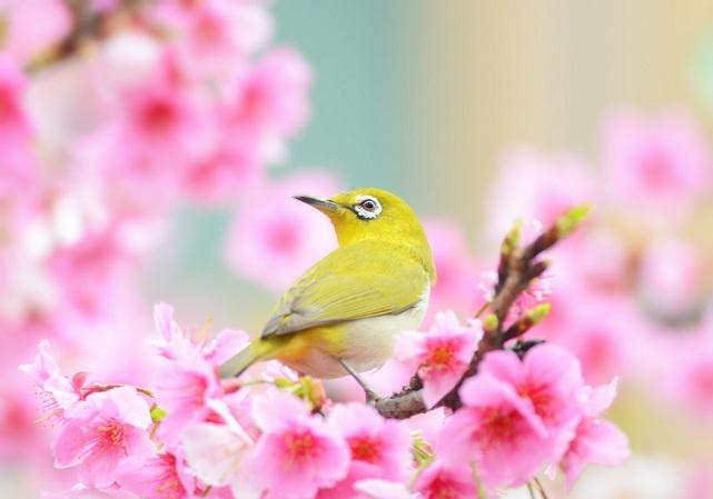 桜とメジロ(6)