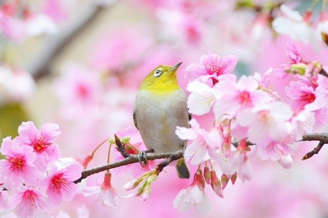 桜とメジロ3