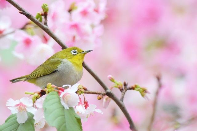 桜とメジロ1