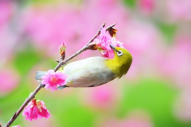 桜とメジロ(5)