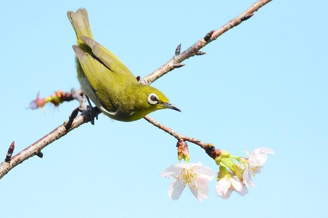 名残桜(1)