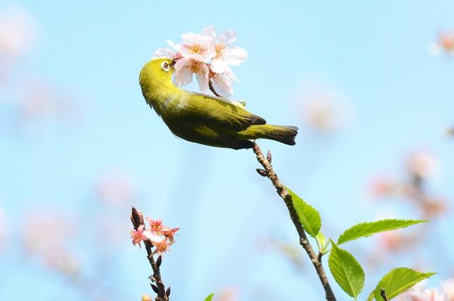 名残桜(4)