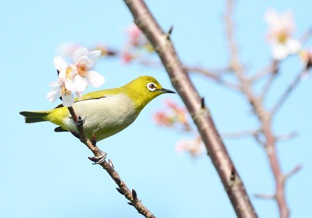 名残桜(2)