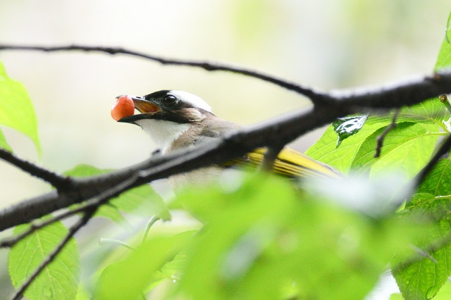 サクランボと野鳥たち(1)