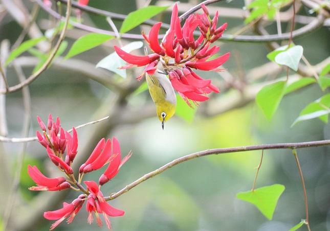 メジロは赤い花が好き