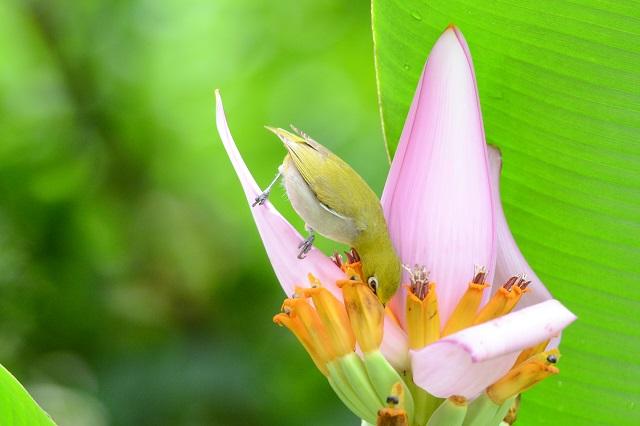 バナナの花とメジロ(4)