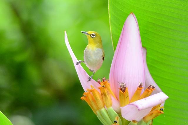 バナナの花とメジロ(3)
