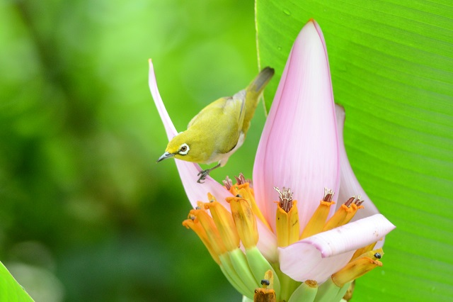 バナナの花とメジロ(2)