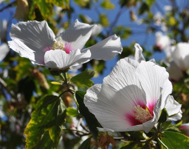 Rose of Sharon-02