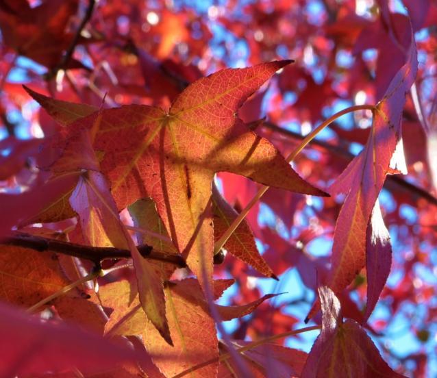 紅葉葉楓-04