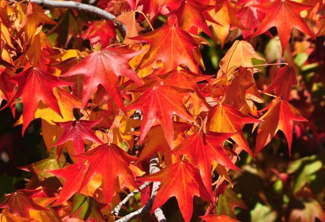 紅葉葉楓-03