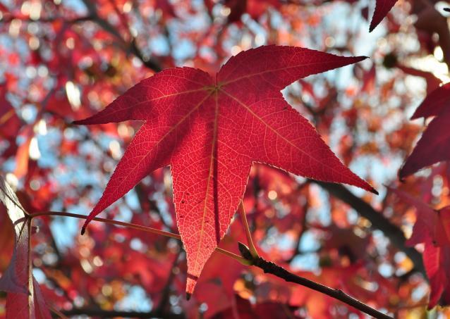 紅葉葉楓-02