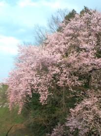 201204桜
