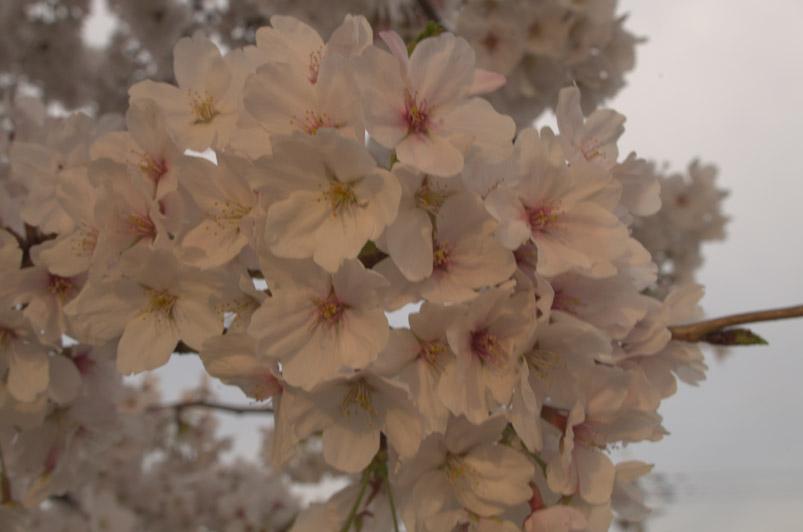 桜4min