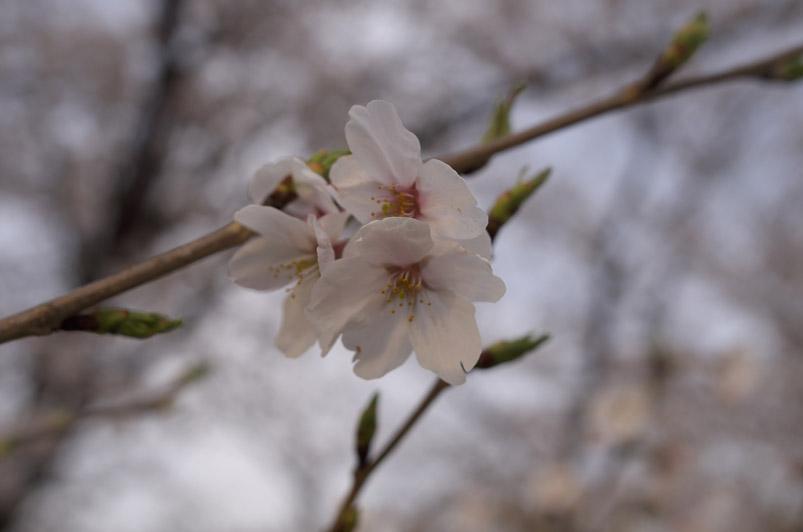 桜1min