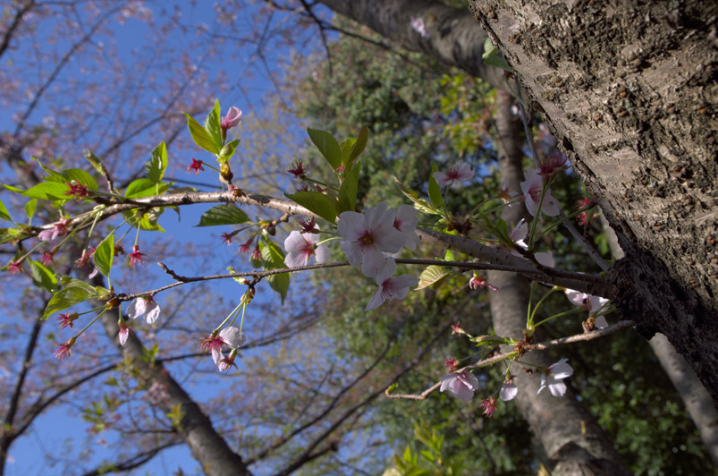 葉桜min