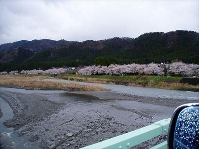 安曇川桜並木